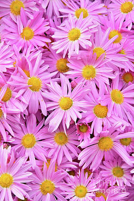 Royalty-Free and Rights-Managed Images - Pink Daisy Chrysanthemums 2 by Regina Geoghan