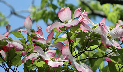 Photograph - Pink Dogwood 3 #spring #easter by Andrea Anderegg