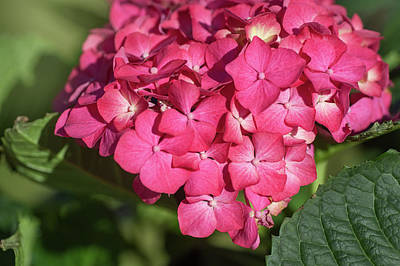 Photograph - Pink French Hydrangea Bloom by Jenny Rainbow