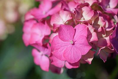 Photograph - Pink French Hydrangea  by Jenny Rainbow