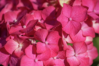 Photograph - Pink French Hydrangea Macro 1 by Jenny Rainbow