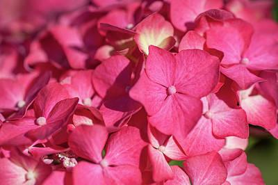 Photograph - Pink French Hydrangea Macro by Jenny Rainbow