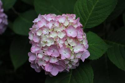 Photograph - Pink Hydrangea by Christopher Lotito