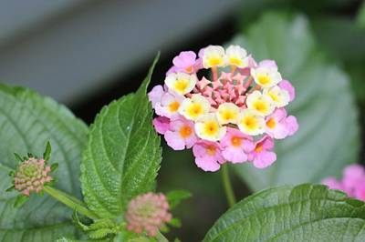 Photograph - Pink Lantana by Christopher Lotito