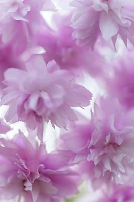 Giuseppe Cristiano Royalty Free Images - Pink Lightness of Sakura Bloom Royalty-Free Image by Jenny Rainbow