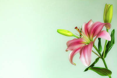 Photograph - Pink Lily by Jade Moon