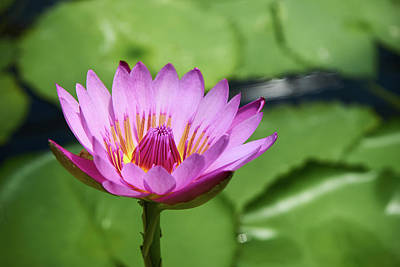 Photograph - Pink Lotus Water Flower by Lukas Kerbs