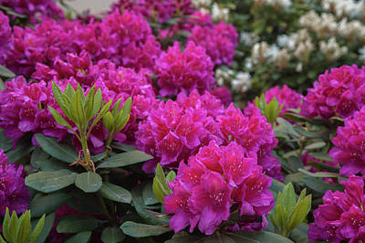 Photograph - Pink Magenta Bloom Of Rhododendrons by Jenny Rainbow