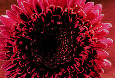 Photograph - Pink Chrysanthemum Explosion by Keith Smith
