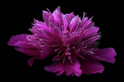 Photograph - Pink Peony by Debra and Dave Vanderlaan