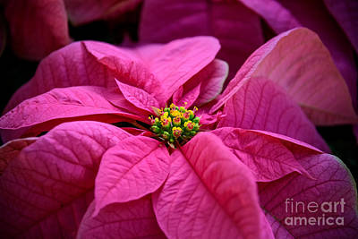 Photograph - Pink Poinsettia  by Debra Fedchin