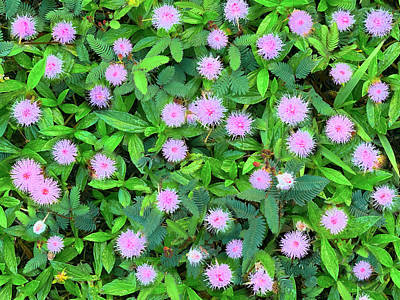 Photograph - Pink Powder Puffs by Sean Davey