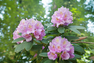 Photograph - Pink Purple Blooms Of Rhododendrons 4 by Jenny Rainbow