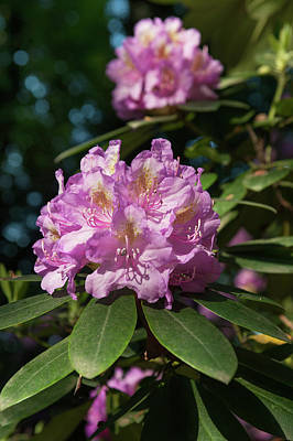Photograph - Pink Purple Blooms Of Rhododendrons 5 by Jenny Rainbow