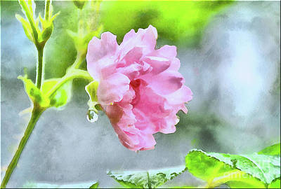 Photograph - Pink Rose And Water Drop..watercolor by Elaine Manley