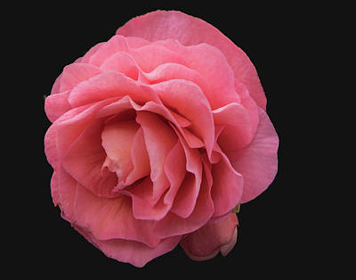 Flags On Faces Semmick Photo - Pink Rose by David Werner