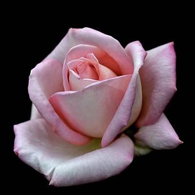 Flower Photograph - Pink Rose by I Love Photo And Apple.