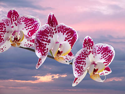 Photograph - Pink Spotted Orchid Sunset by Gill Billington