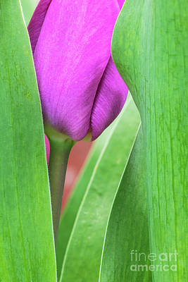 Photograph - Pink Tulip Macro by Tim Gainey