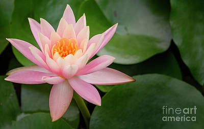 Photograph - Pink Water Lily by Debra Fedchin