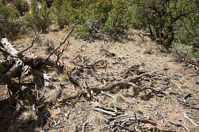 Photograph - Pinon Kindling On Forest Floor by Tom Cochran