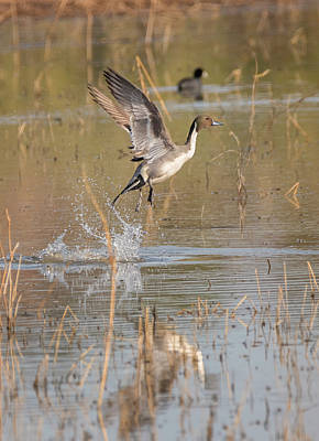 Photograph - Pintail Blast Off by Loree Johnson