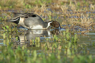 Photograph - Pintail Duck 5508-121618-1 by Tam Ryan