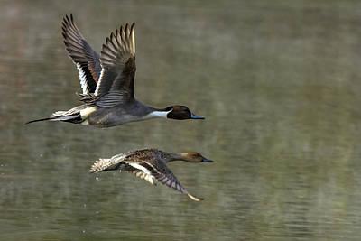 Photograph - Pintail Ducks 0070-010519-1 by Tam Ryan