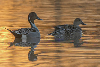 Photograph - Pintail Ducks At Sunrise 2480-012219 by Tam Ryan