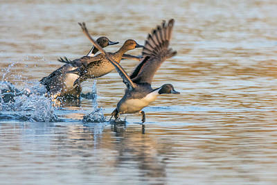 Photograph - Pintail Ducks Liftoff 8069-122718-1 by Tam Ryan