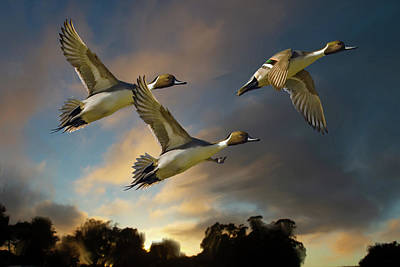 Painting - Pintails At Sunset by Mark Miller