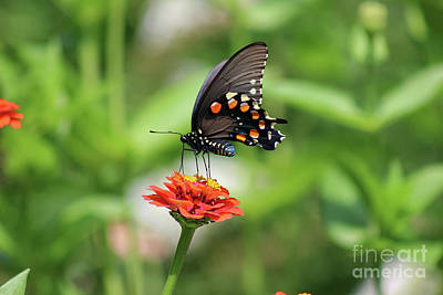 Photograph - Pipevine Swallowtail Butterfly On Orange Zinnia by Karen Adams