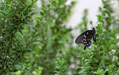 Photograph - Pipevine Swallowtail by Douglas Killourie