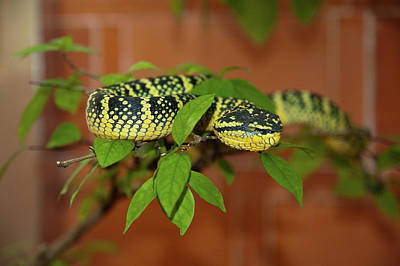 Branch Photograph - Pit Viper Snake On Tree Branch by Megan Ahrens