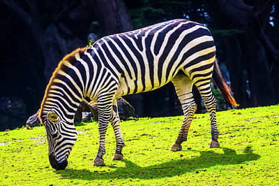 Photograph - Plains Zebra by Garry Gay