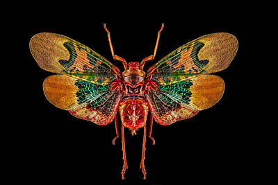 Photograph - Planthopper Lanternfly by Gary Shepard