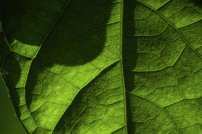 Photograph - Play Of Light And Shadow. Green Leaf Macro 3 5 by Jenny Rainbow