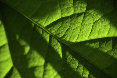 Photograph - Play Of Light And Shadow. Green Leaf Macro 8 by Jenny Rainbow