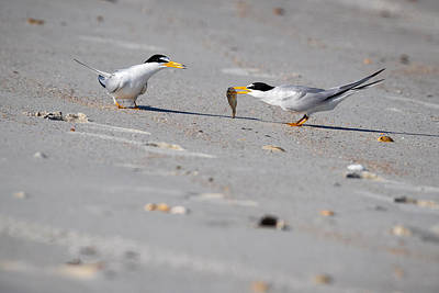 Photograph - Playful Common Terns by Jay Whipple