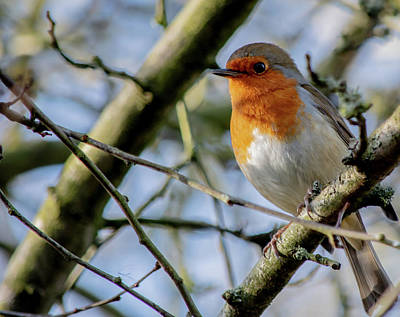 Photograph - Plump Robin by Scott Lyons