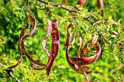 Photograph - Pods Of The Honey Locust by Frans Blok