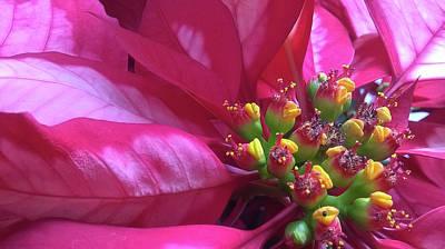 Photograph - Poinsettia 10 by Duane McCullough