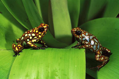 Photograph - Poison Dart Frog Dendrobates by Pete Oxford/ Minden Pictures