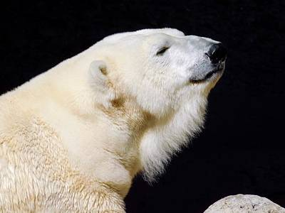 Photograph - Polar Bear by Dan Miller