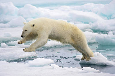 Polar Bear Jumping In The Fast Ice Art Print by Arturo De Frias Photography