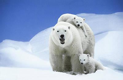 Photograph - Polar Bear Ursus Maritimus Mother & by Wayne R. Bilenduke