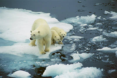 Photograph - Polar Bear Ursus Maritimus Mother With by Ingrid Visser/ Hedgehog House/ Minden Pictures