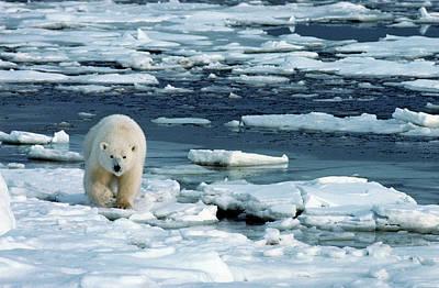 On The Move Photograph - Polar Bear Walking On Open Ice Floes by Stephen J. Krasemann