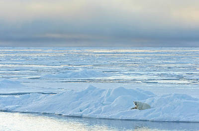 Photograph - Polar Near In Arctic by Johner Images