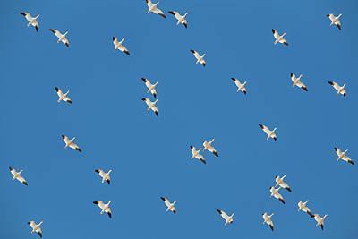 Photograph - Polka Geese by Todd Klassy